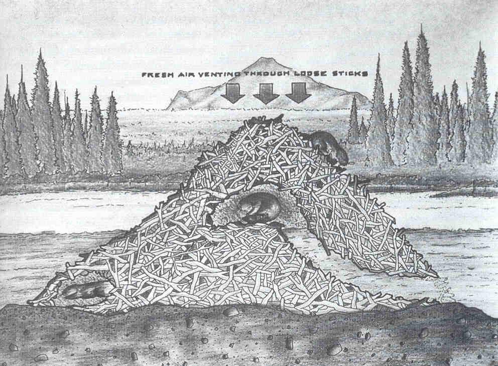 Beaver lodge diagram - photo#35